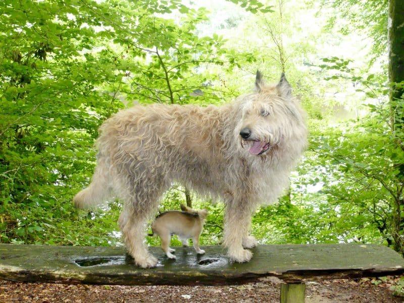 Picardische Herdershond hondenras