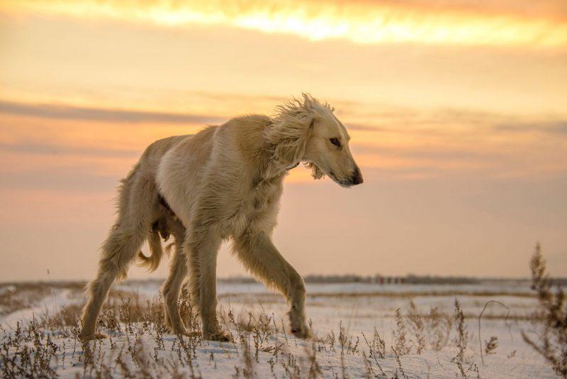 afghaanse windhond hondenras