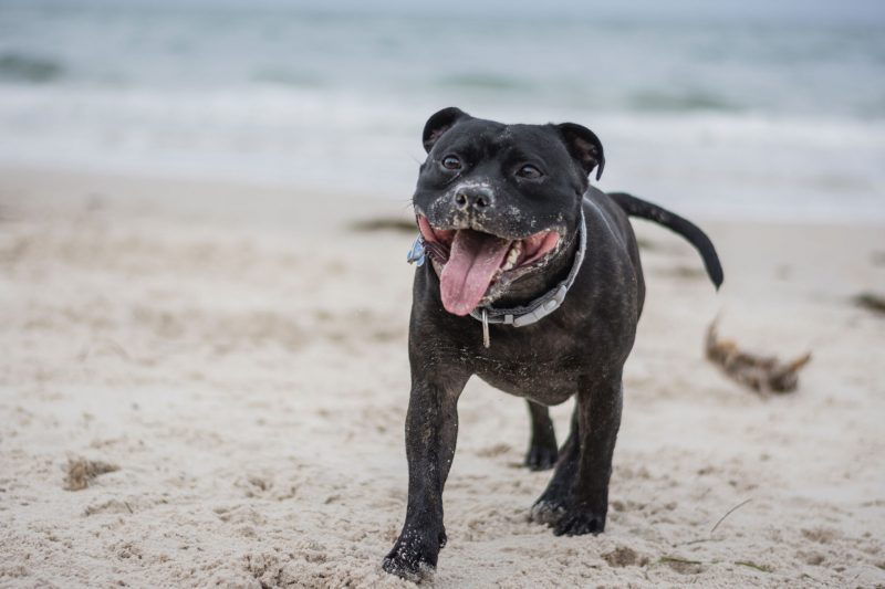 amerikaanse staffordshire terrier hondenras