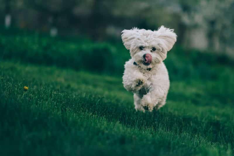 bichon frise hondenras