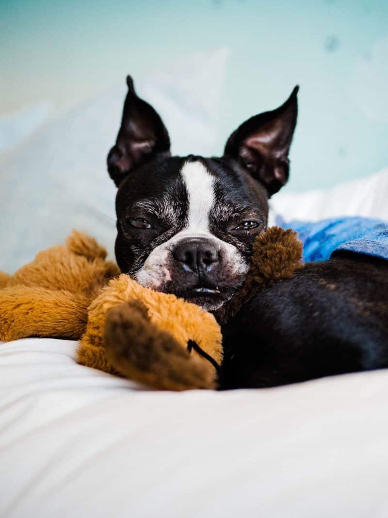 boston terrier hond