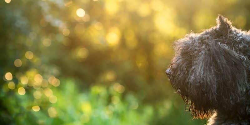 bouvier des flandres hondenras