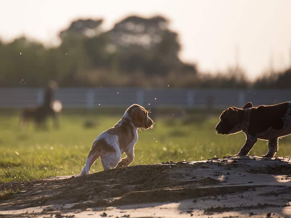 bracco italiano pups