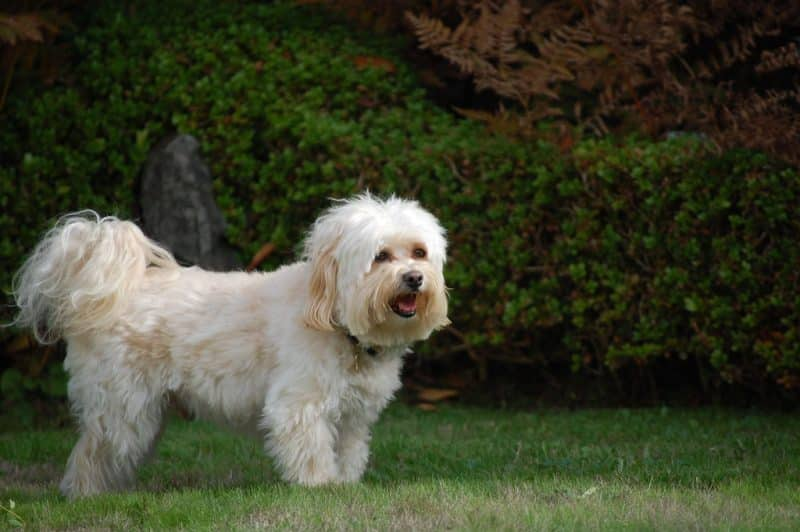 havanezer hond