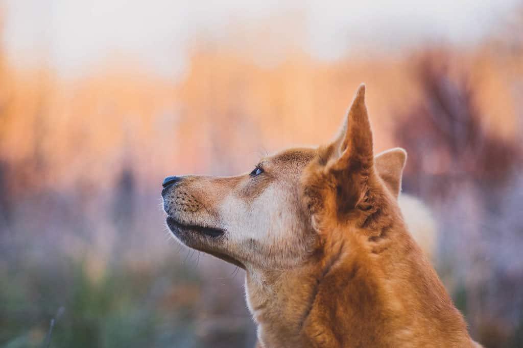 kanaan hond