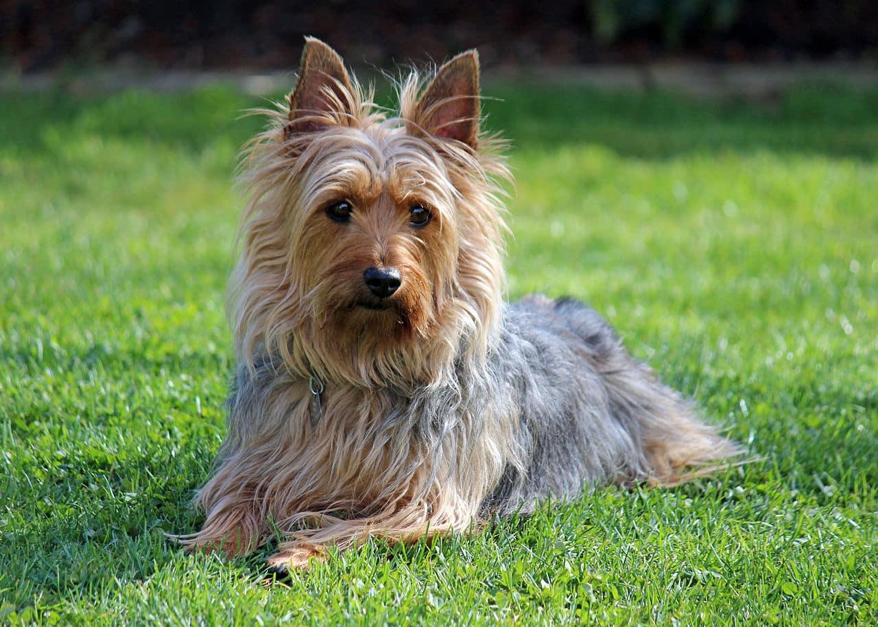 Australische Silky Terrier hond