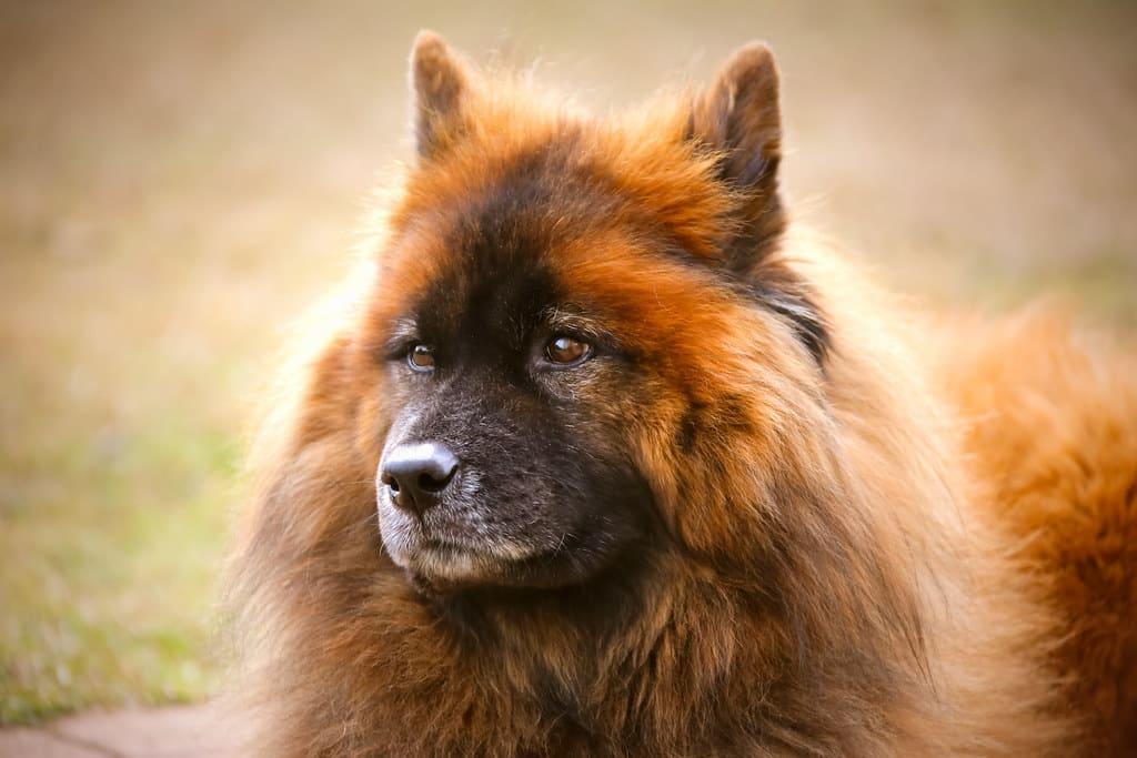 eurasier hond
