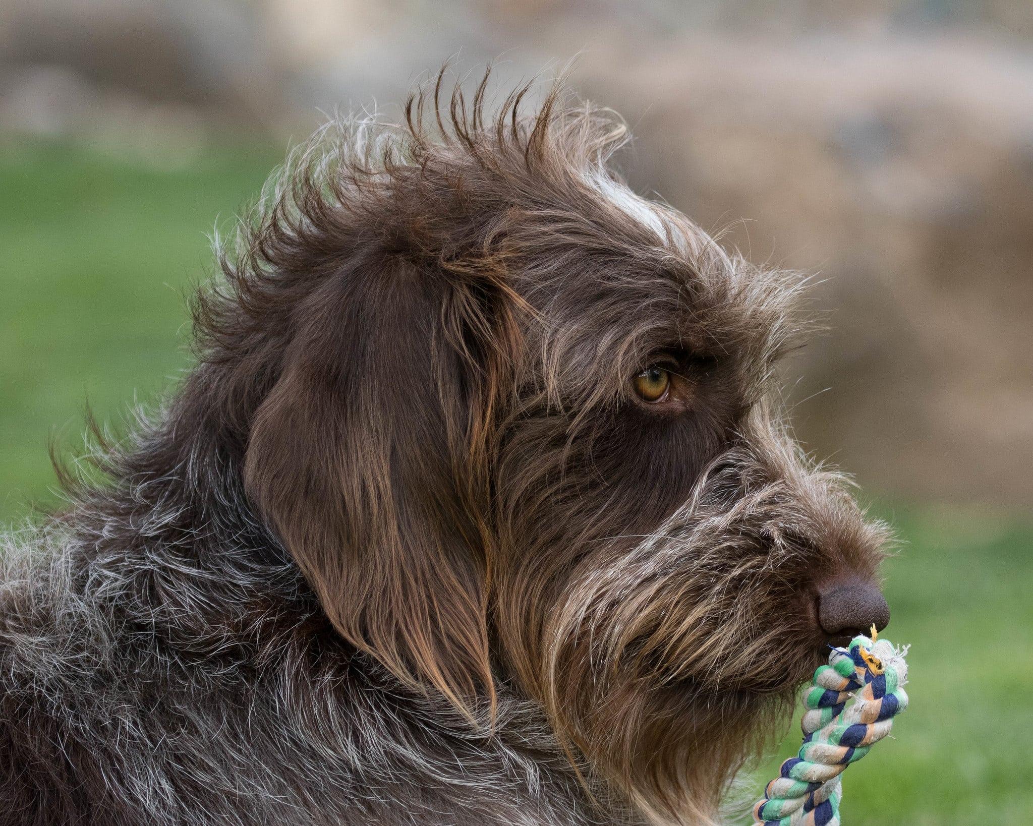 Griffon Korthals hond
