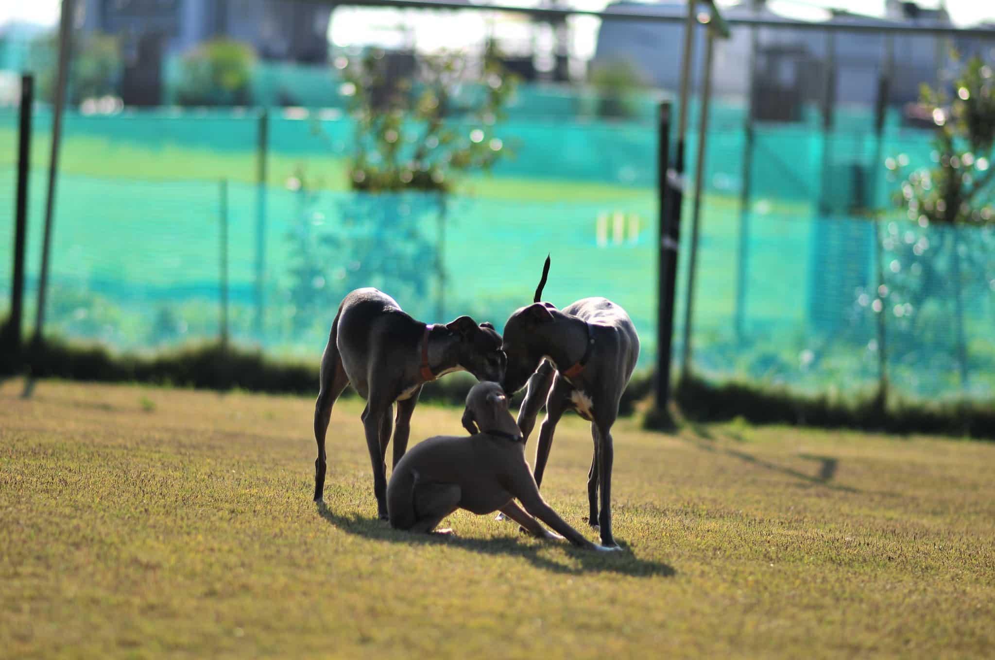Italiaanse Windhond hondenras