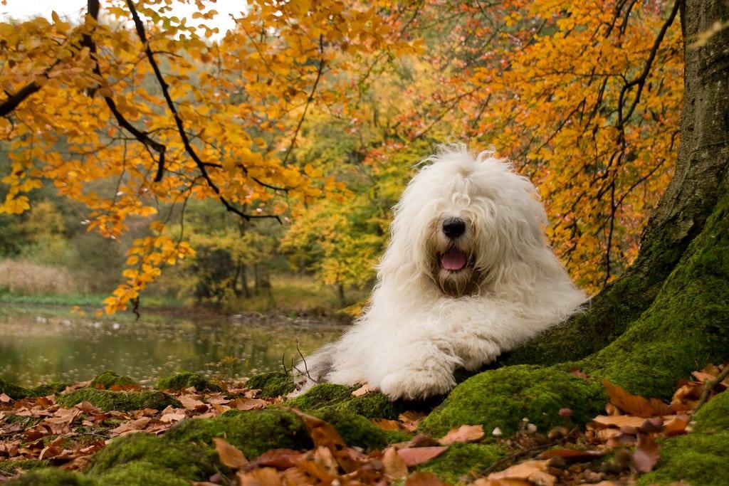 Old English Sheepdog hond