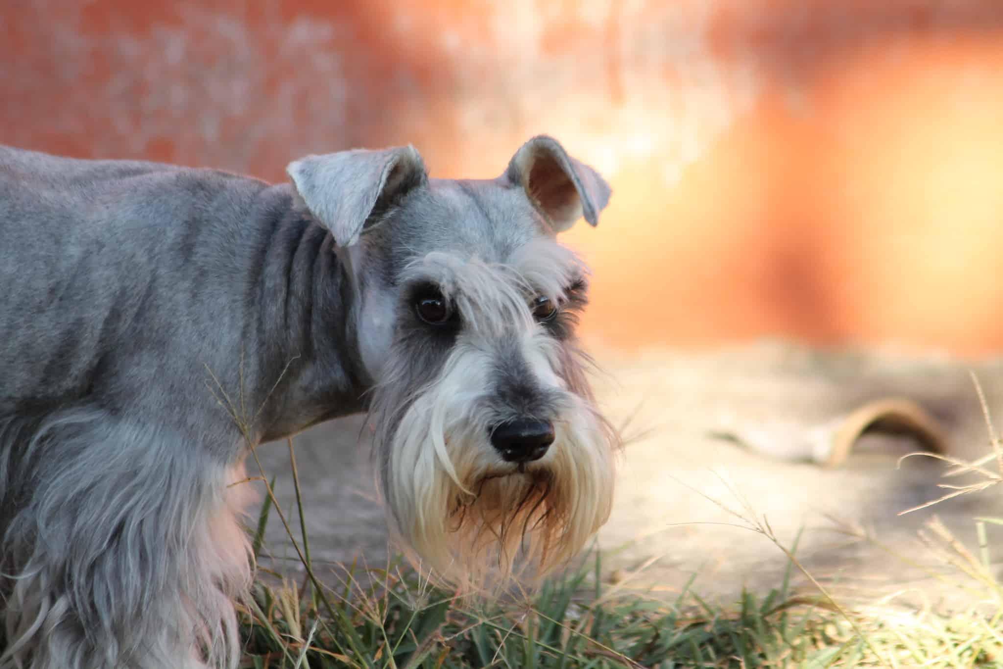 Schnauzer hondenras