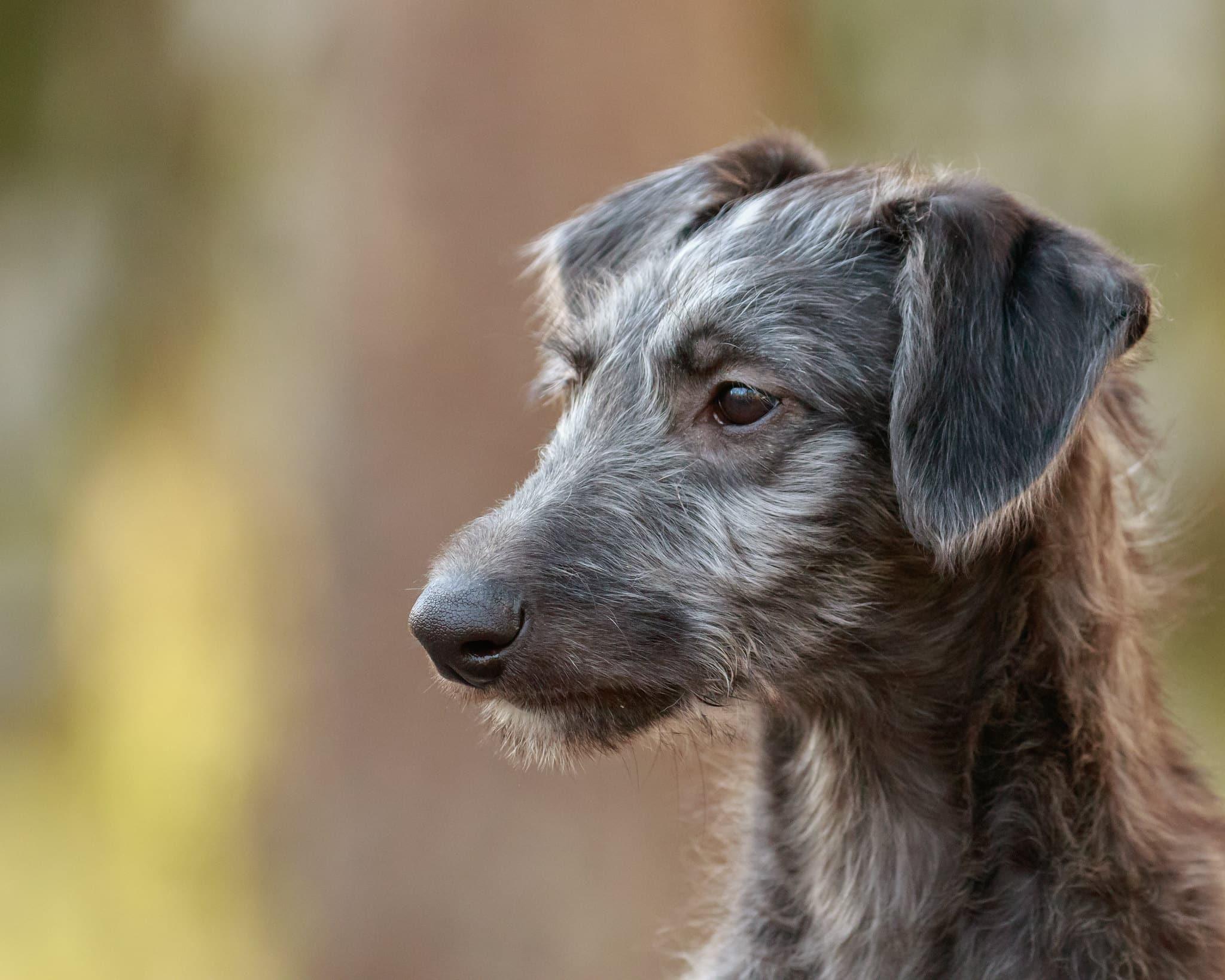 Schotse Deerhound hondenras