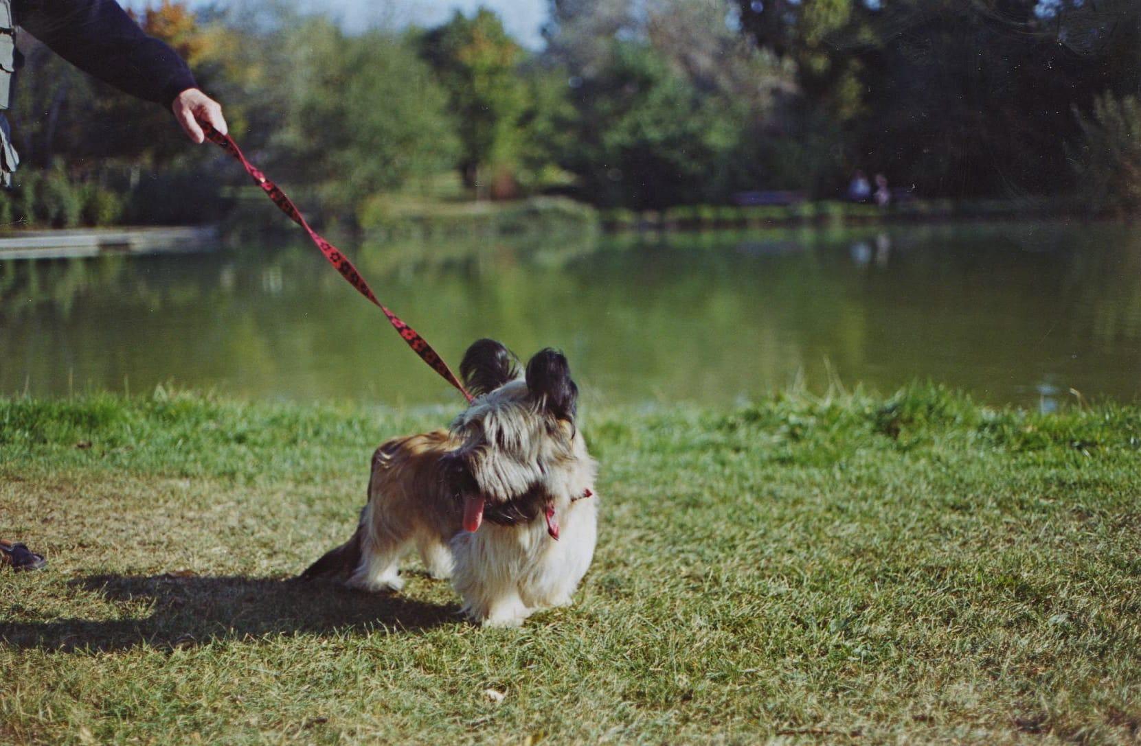 skye terrier hondenras