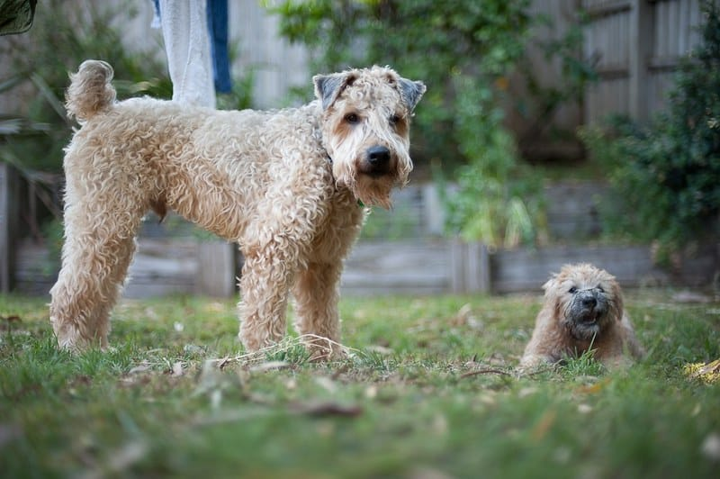 Soft Coated Wheaten Terrier hondenras