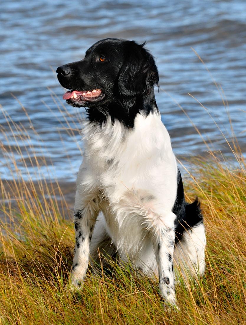 Stabyhoun hondenras