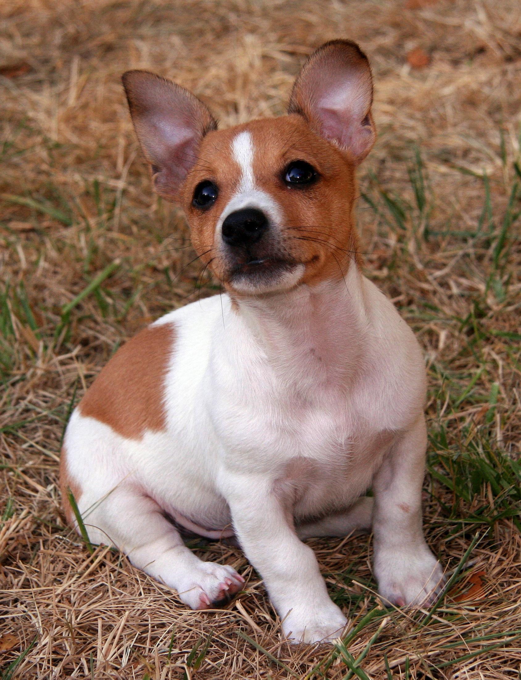 Teddy Roosevelt Terrier hond