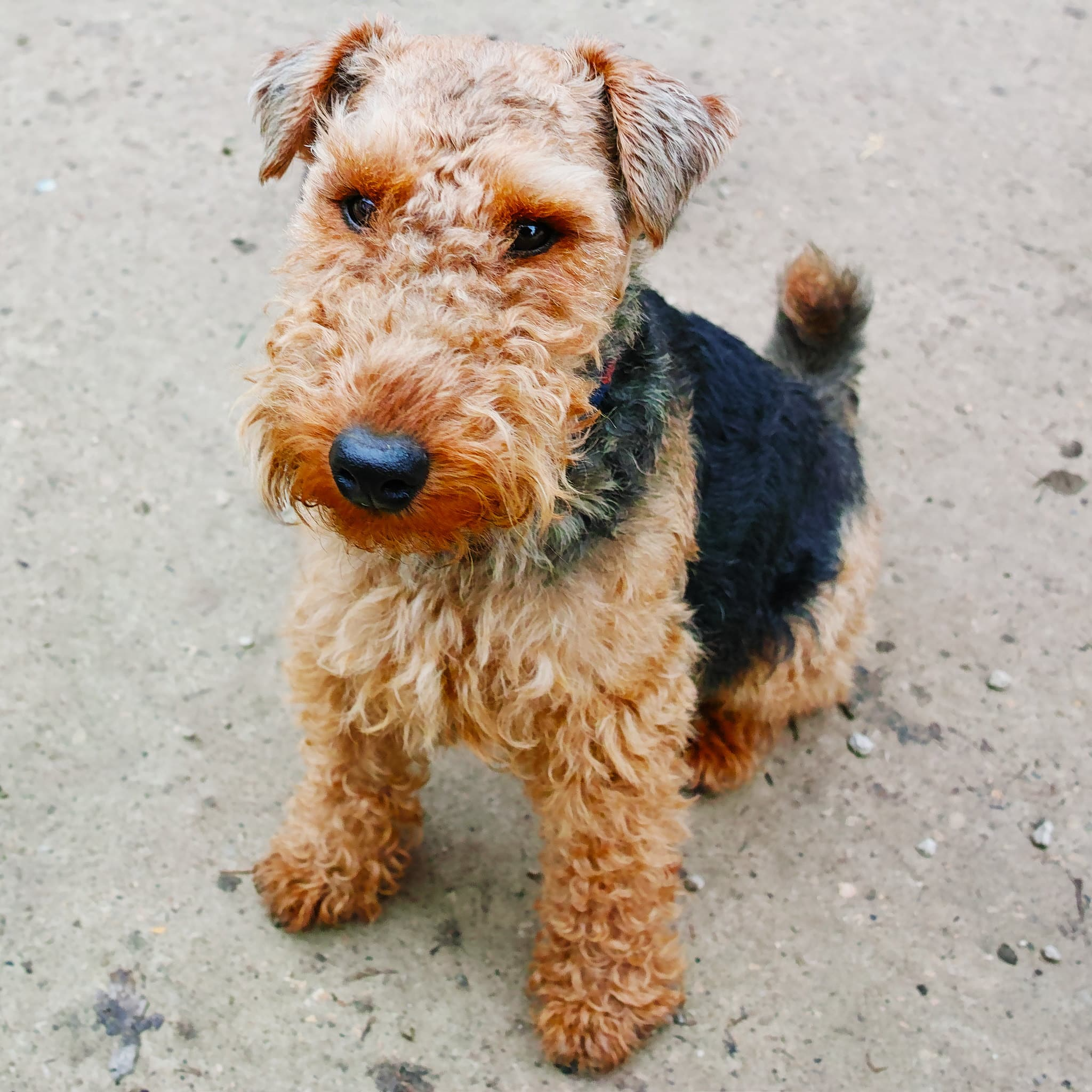 Welsh Terrier hondenras