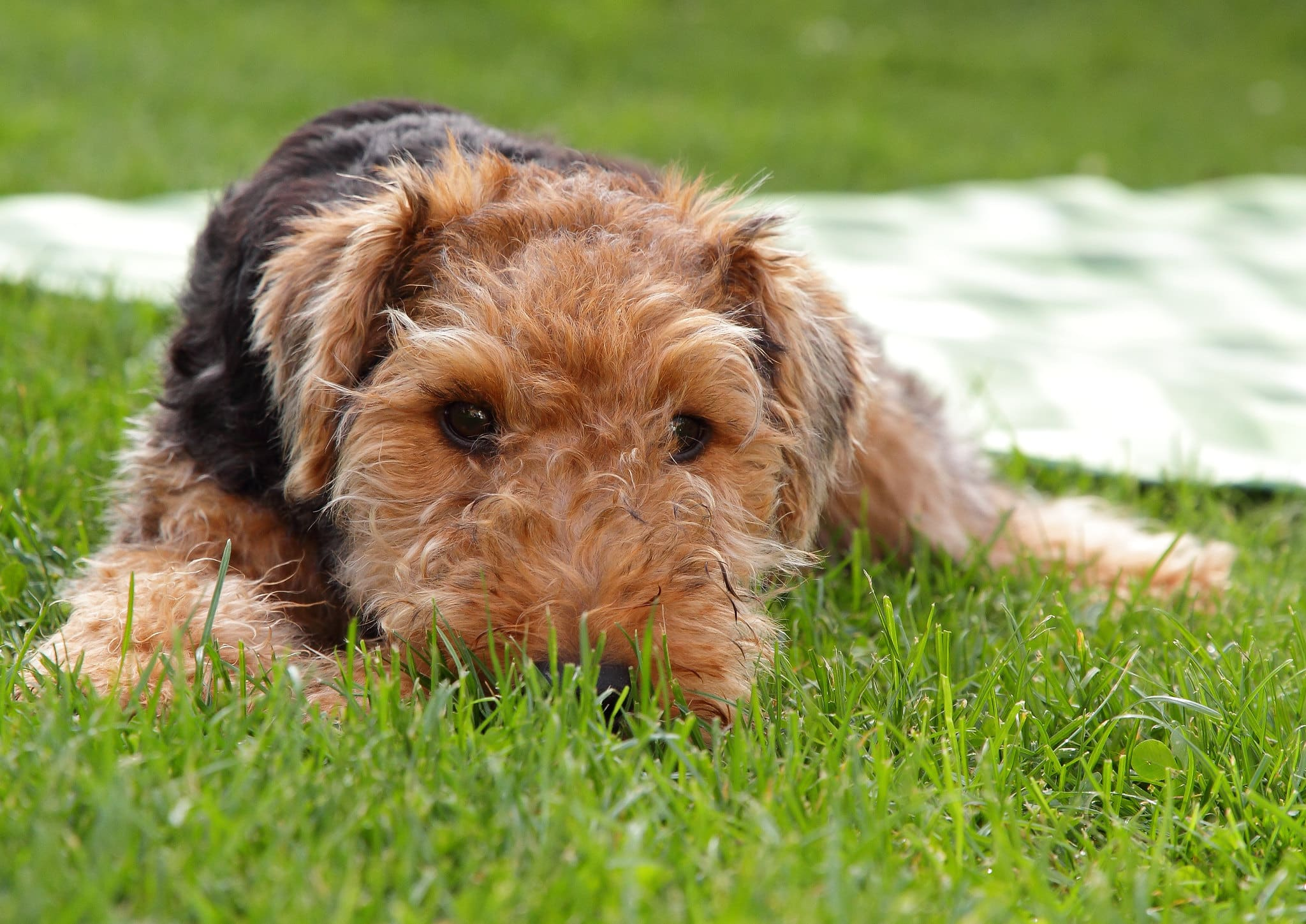 Welsh Terrier pup
