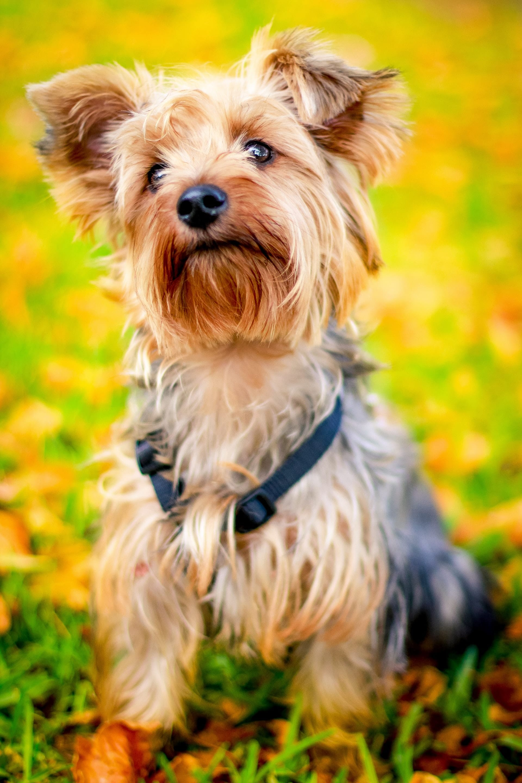 Yorkshire terrier hondenras