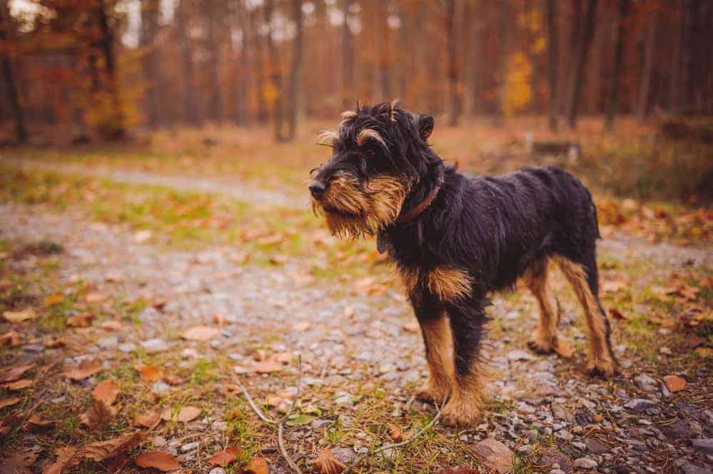 duitse jachtterrier hondenras