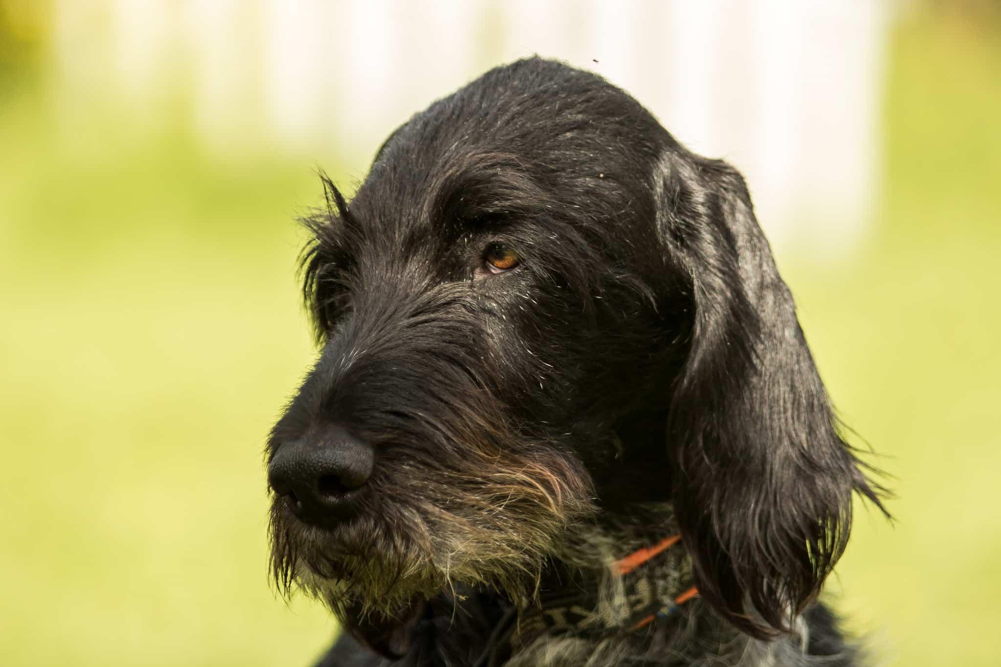 duitse staande hondenras