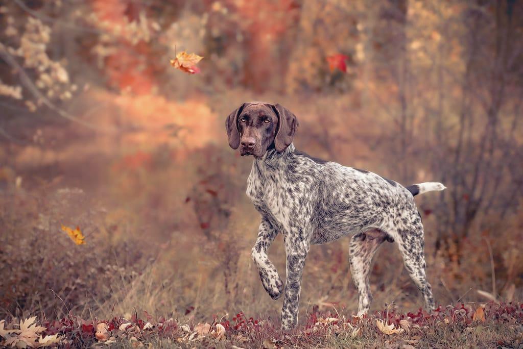 duitse staander korthaar hond