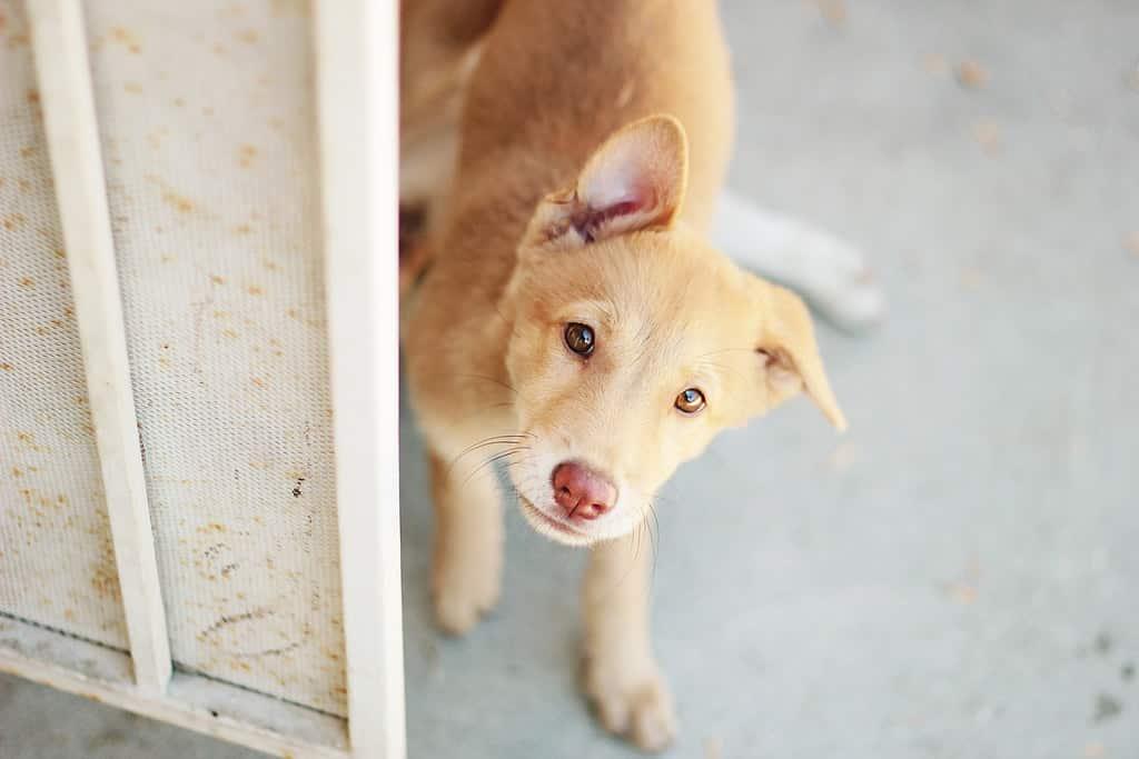koreaanse jingo hondenras