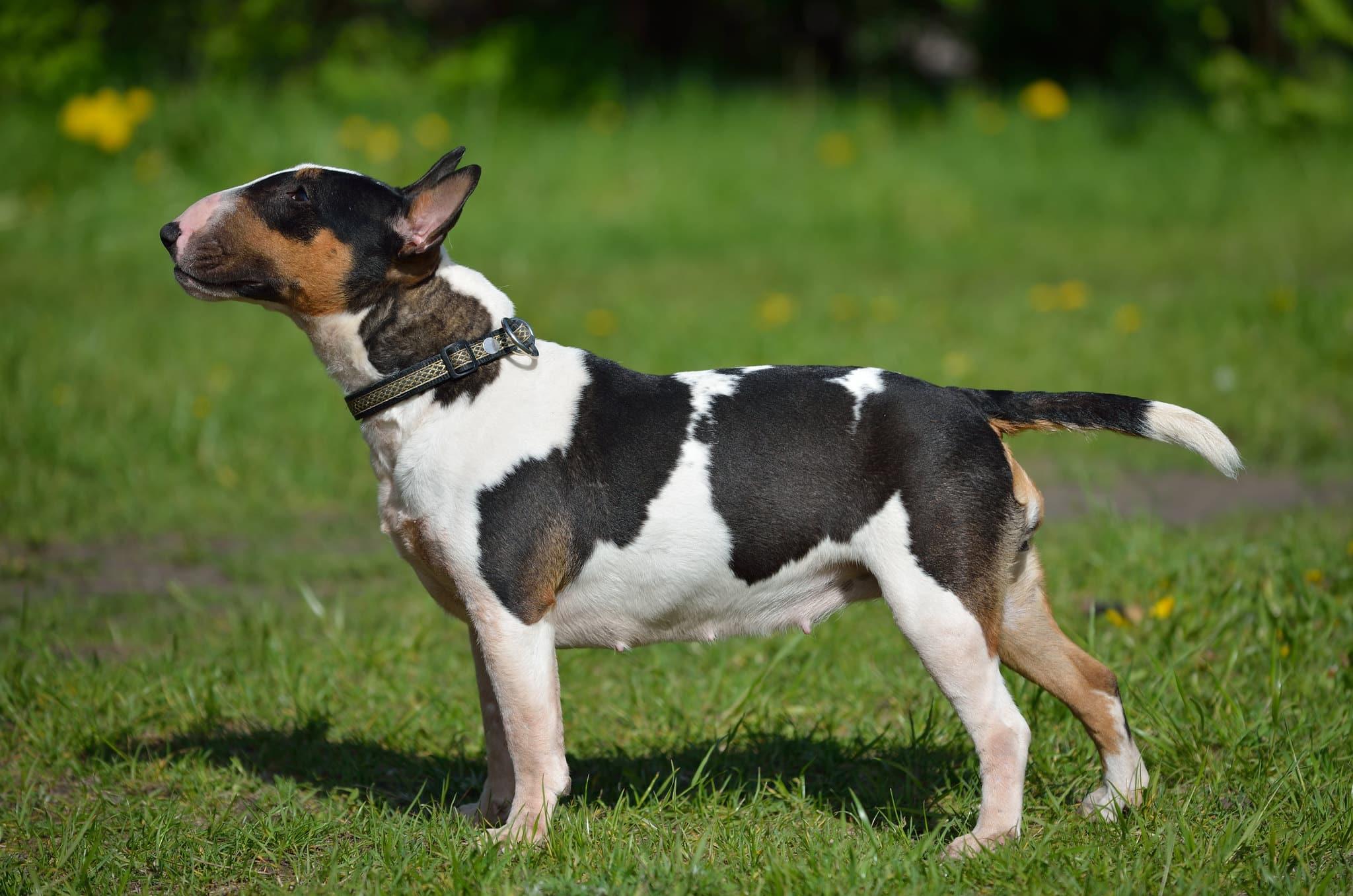 miniatuur bull terrier