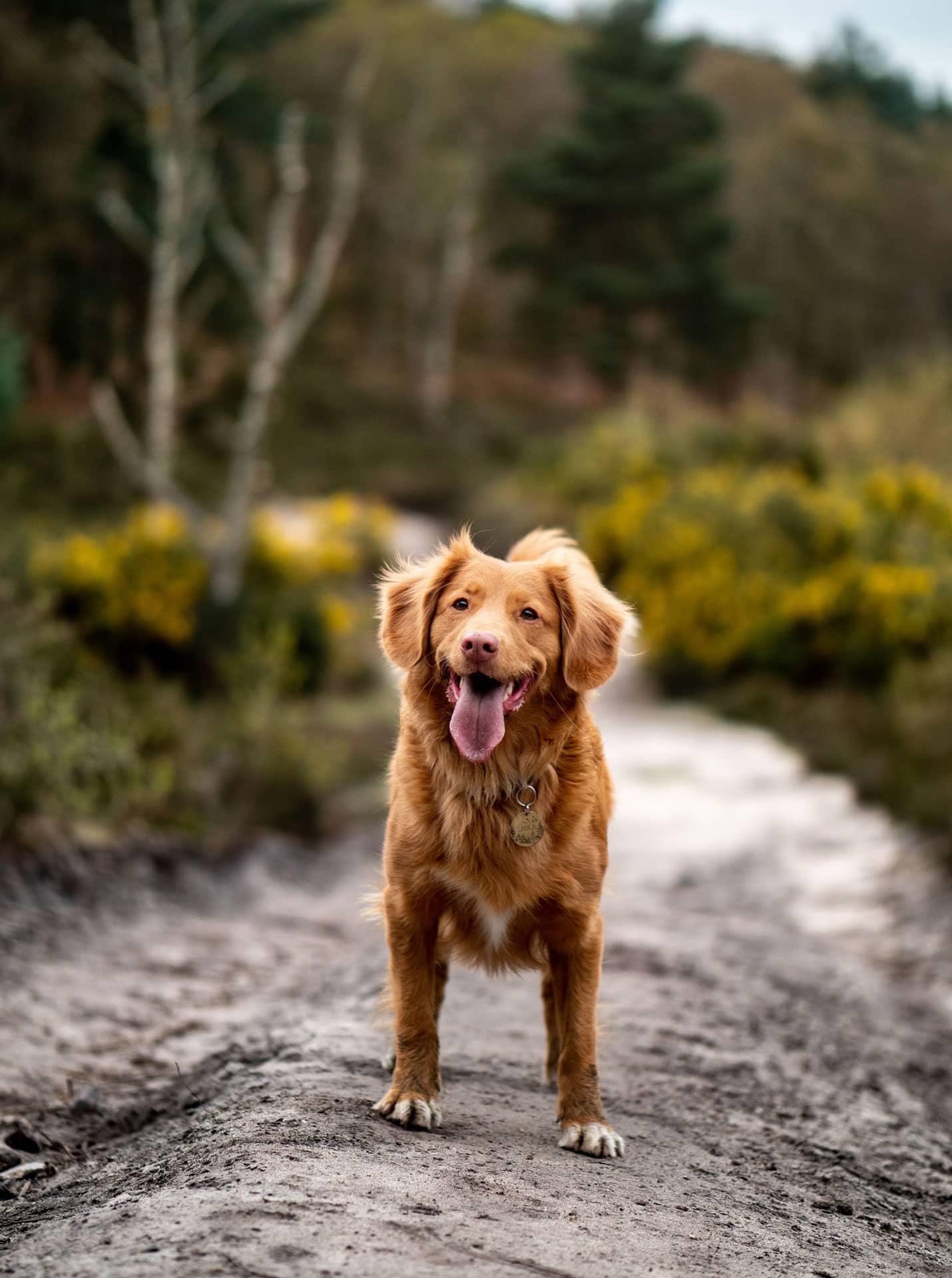 Nova Scotia Duck Tolling Retriever hond