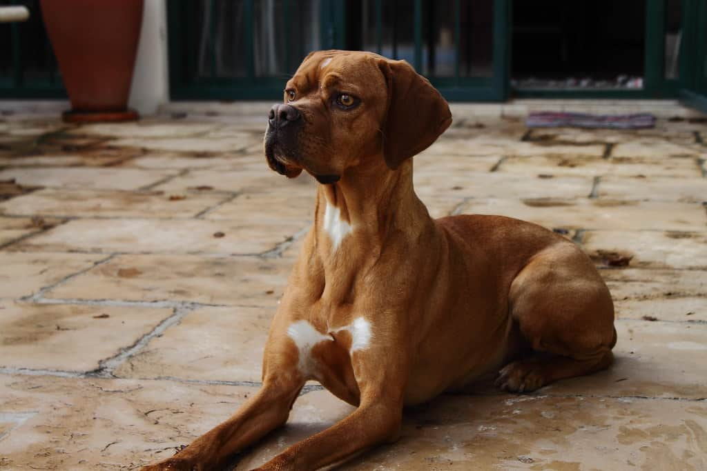Portugese Pointer hondenras