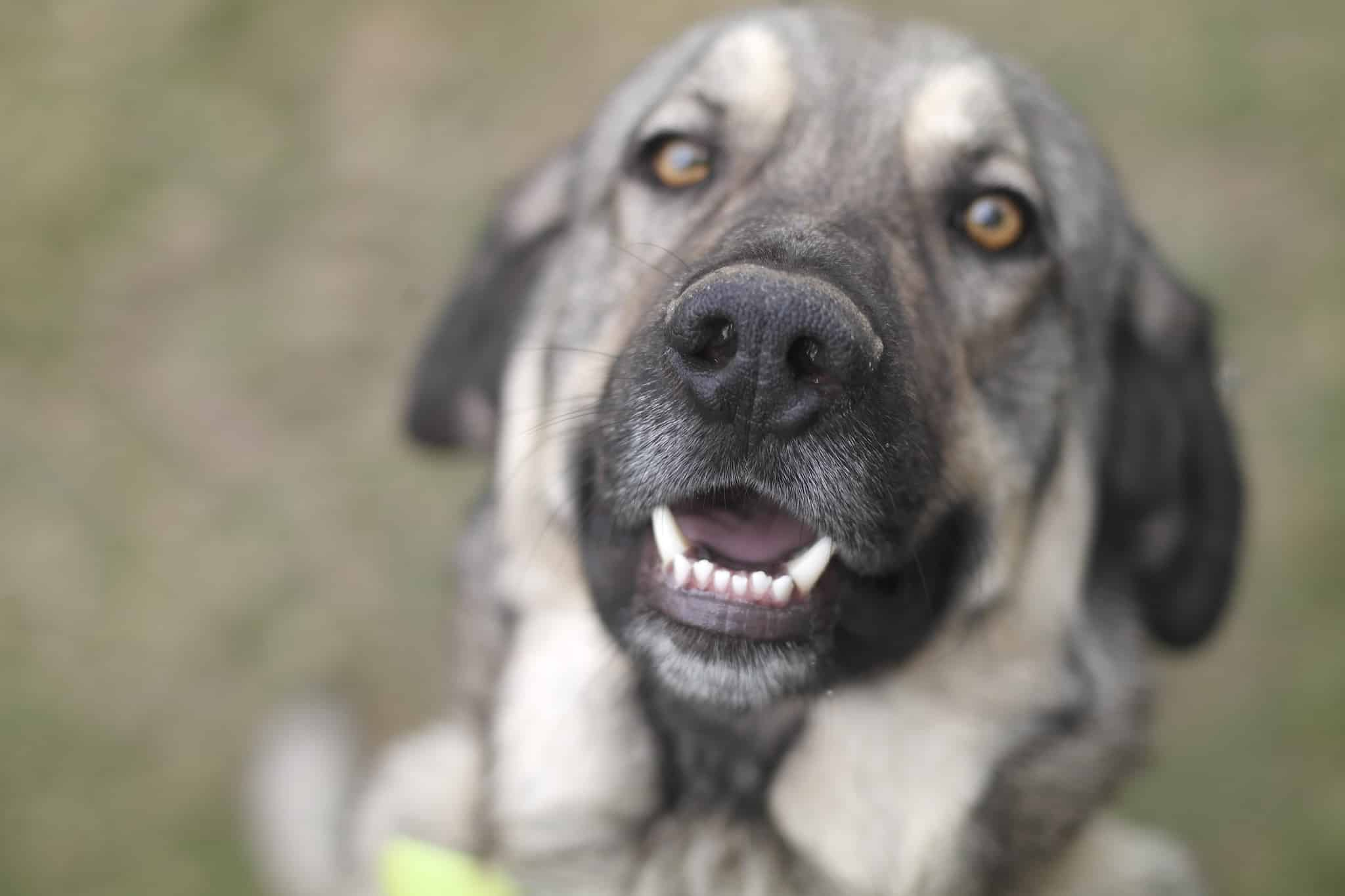 spaanse mastiff hondenras