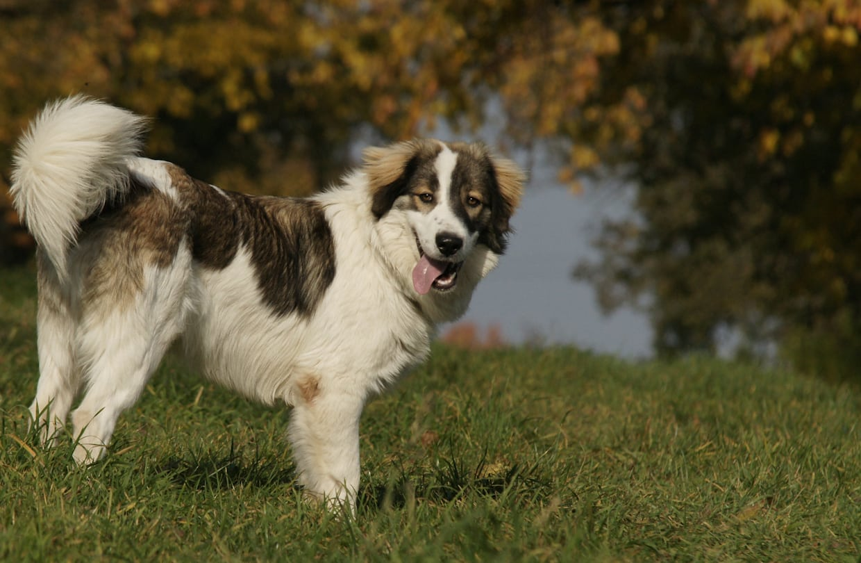 tornjak hondenras