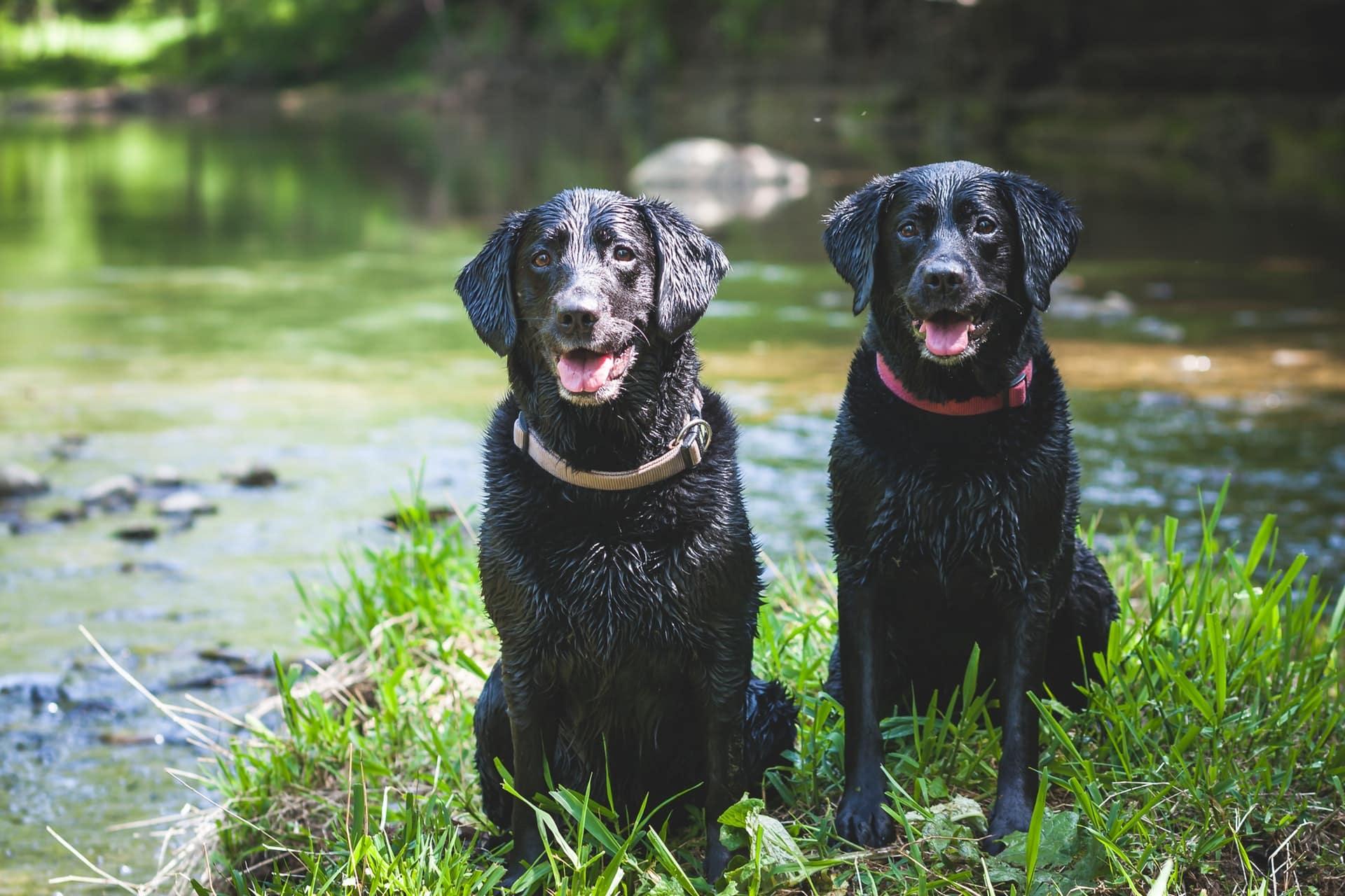 twee labrador retrievers