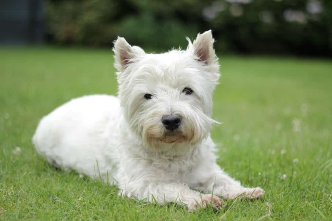 West Highland White Terrier hond
