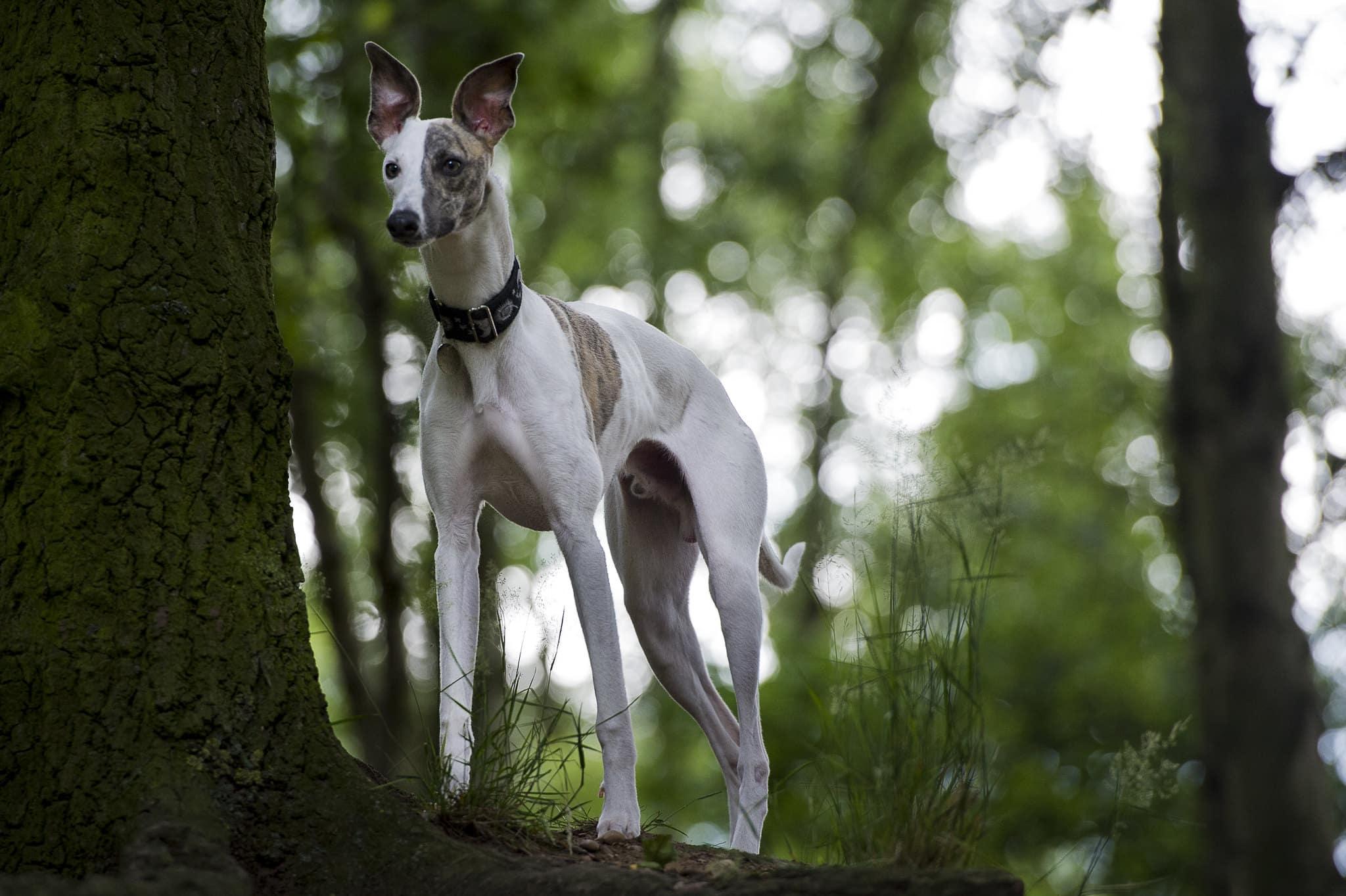 whippet hondenras